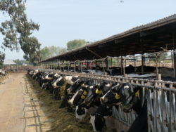 A Decisive Victory for Small Dairy Farms in California