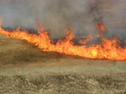 Cattle Grazing Reduces Wildfires