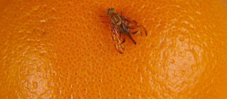 Mexican Fruit Fly