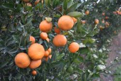 Citrus Growers Prepare For Sub Freezing Temps