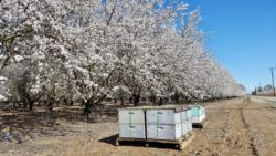 Bee Friendly Farming Promoted By Almond Board