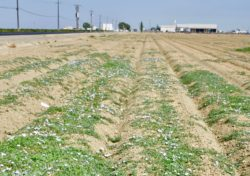 Field Bindweed is A Struggle to Control