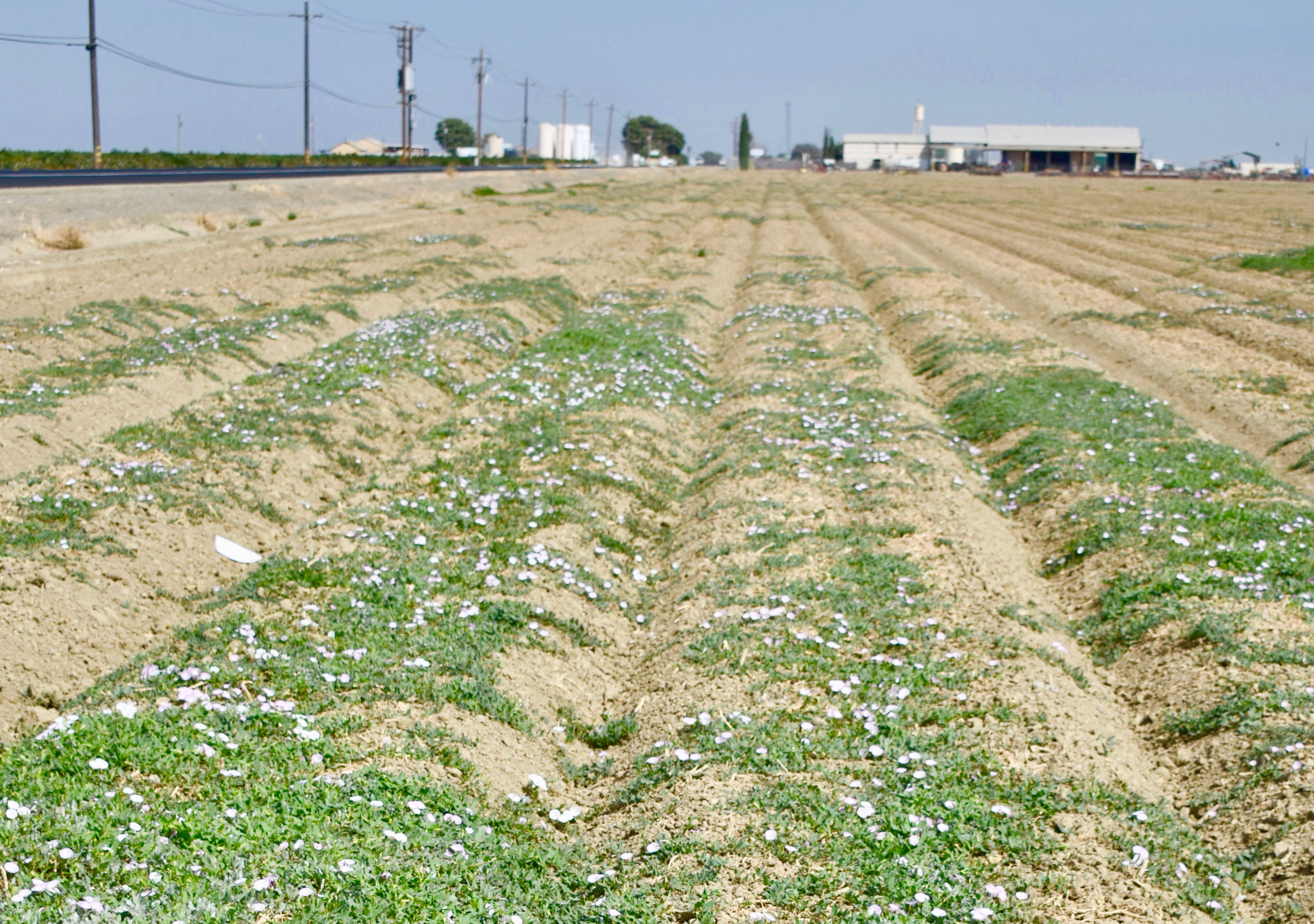 field bindweed