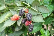 primocane-bearing blackberries