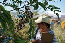 The Wonderment Elderberries