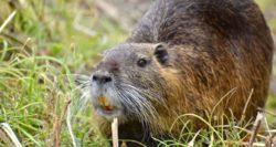 Nutria Swamp Rats Need Control