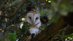 Barn Owls Consume Loads of Vertebrate Pests