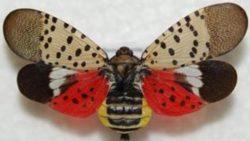 Keeping Spotted Lanternfly Out of State