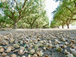 USDA-NASS Projects California Almond Crop Up 18 Percent to 3 Billion Meat Pounds