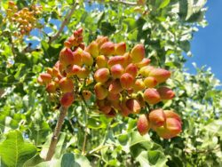Pistachios Now Included in CFAP Direct Grower Payments