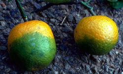 Curing HLB Infected Citrus May Soon Be Here