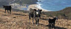 Cattle Ranchers Protect Coastal Landscape